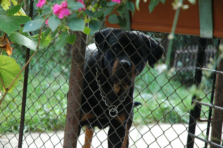 Pet Hotel - Rottweiler - Didi