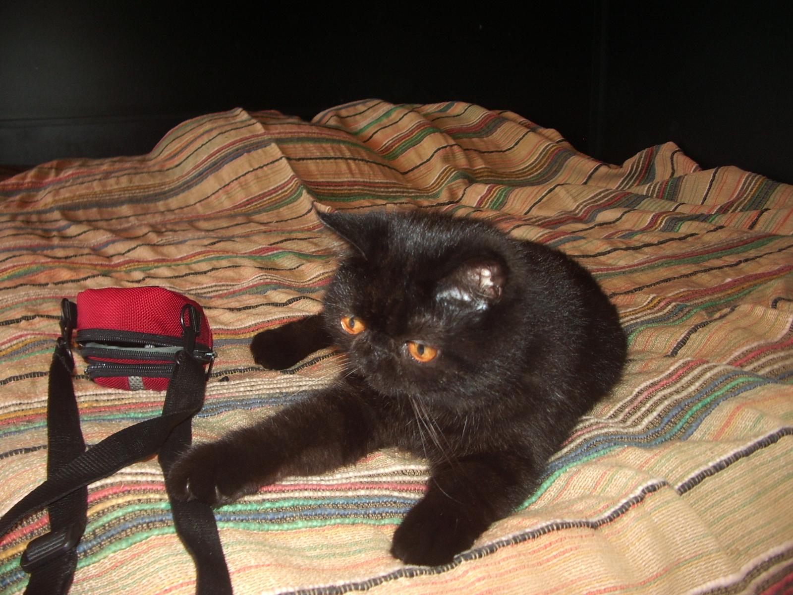 Pet Hotel - Pisica persana 01
