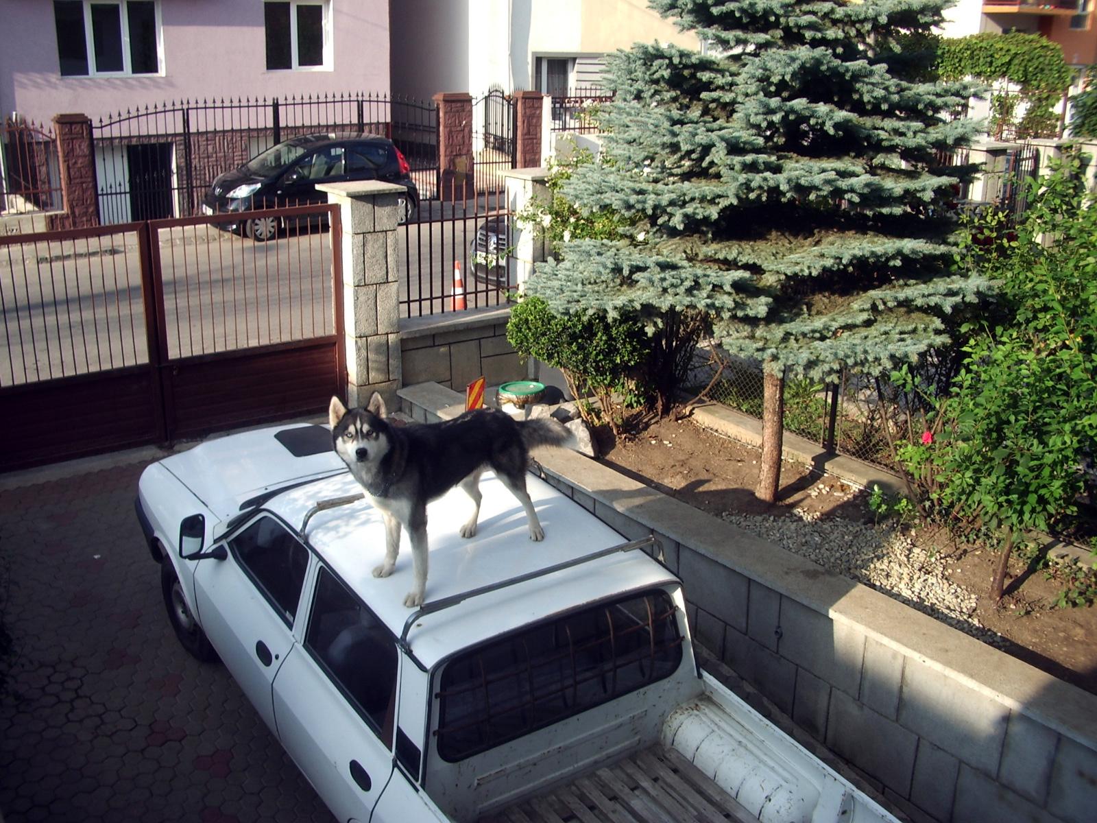 Pet Hotel - Husky pe masina